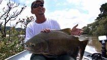 - Pescaria de pirapitinga na batida do caju