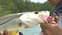 RBT Fishing - A clássica pescaria de robalo com camarão e jig head
