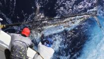 Momento da Pesca - A desafiadora pesca de marlins-azuis